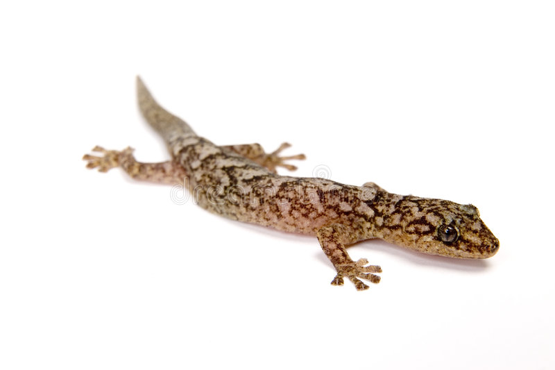 Download Gecko Royalty Free Stock Image - Image: 1166046