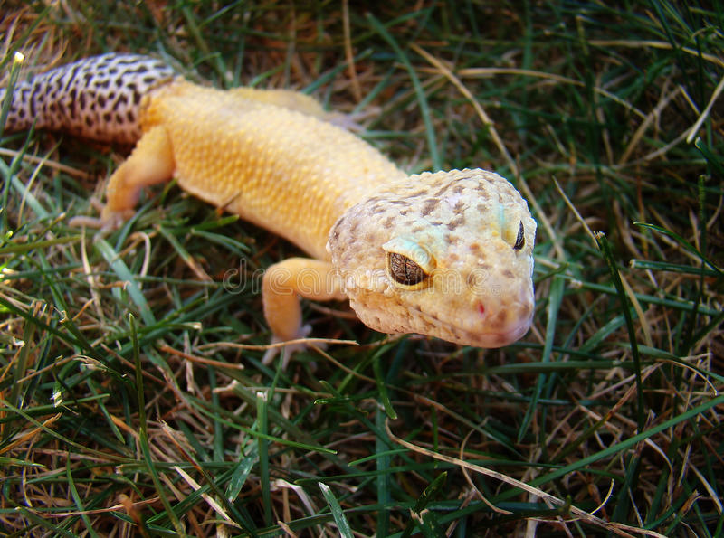 Gecko. A healthy adult male tangerine leopard gecko stock images
