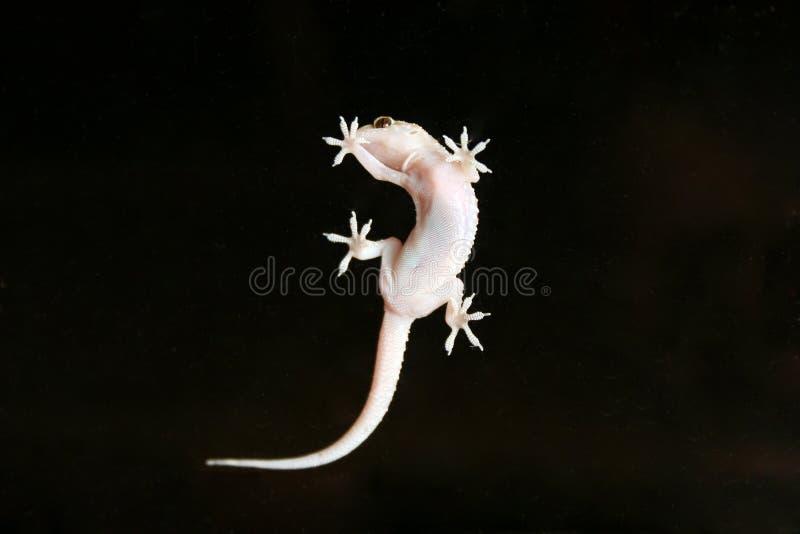 Gecko fotos de stock royalty free