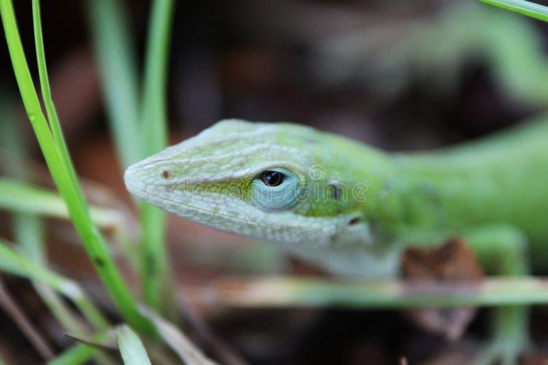 gecko imagen de archivo libre de regalías