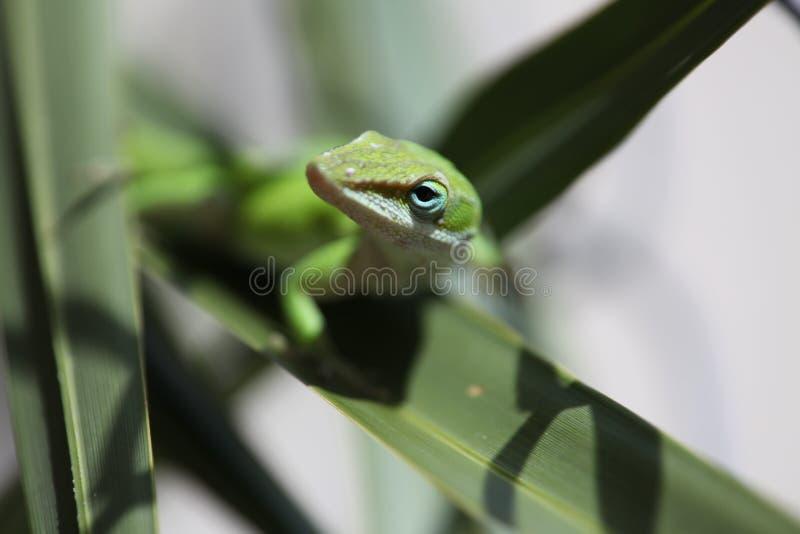 gecko fotografía de archivo