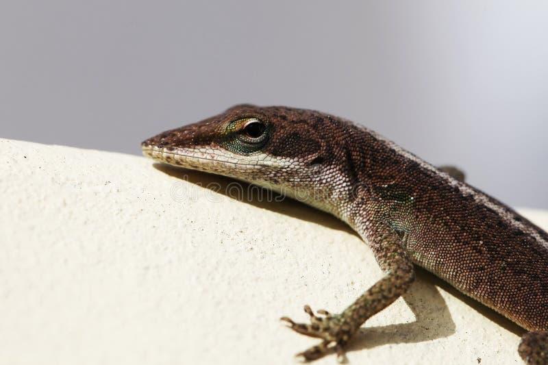 gecko imagen de archivo