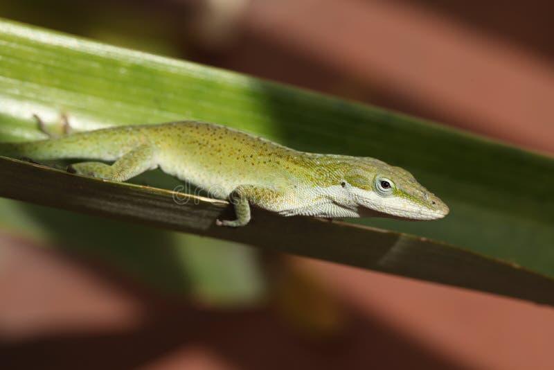 gecko foto de archivo