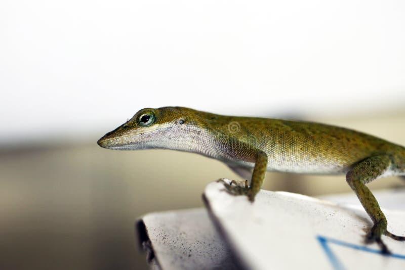 gecko fotos de archivo