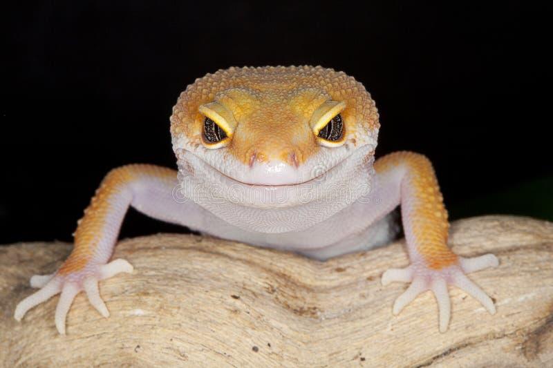 Gecko fotografía de archivo libre de regalías