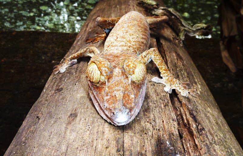 Gecko lizenzfreie stockbilder