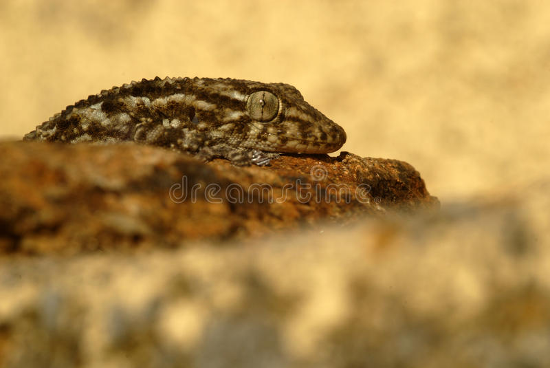 Download Gecko stock image. Image of nature, eyes, reptiles, geckos - 19231661