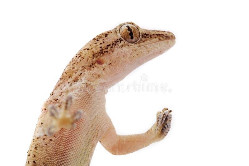 Gecko Images Gratuites