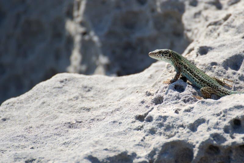 Gecko imágenes de archivo libres de regalías