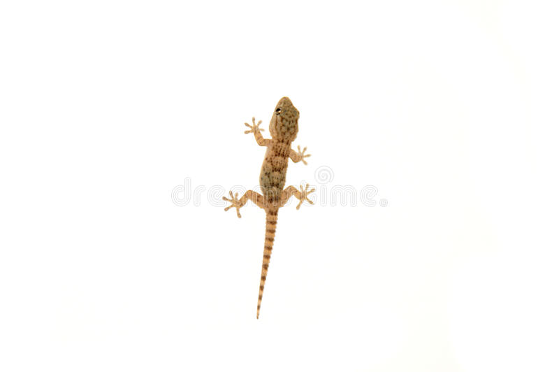 Download Gecko stock photo. Image of animal, reptile, wildlife - 21707892