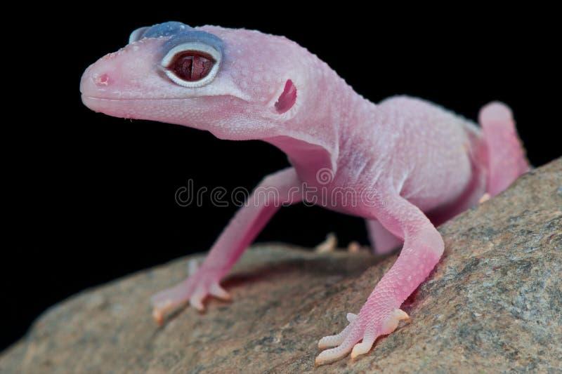 gecko стоковая фотография rf