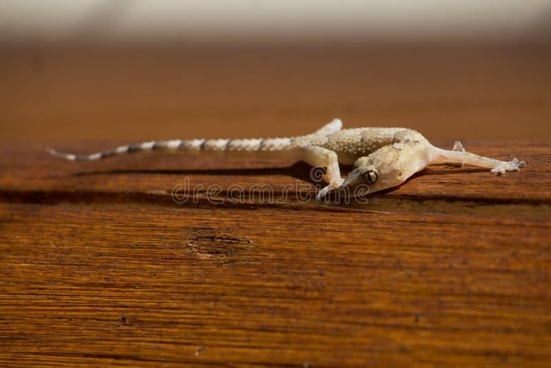 Gecko Stockfotos