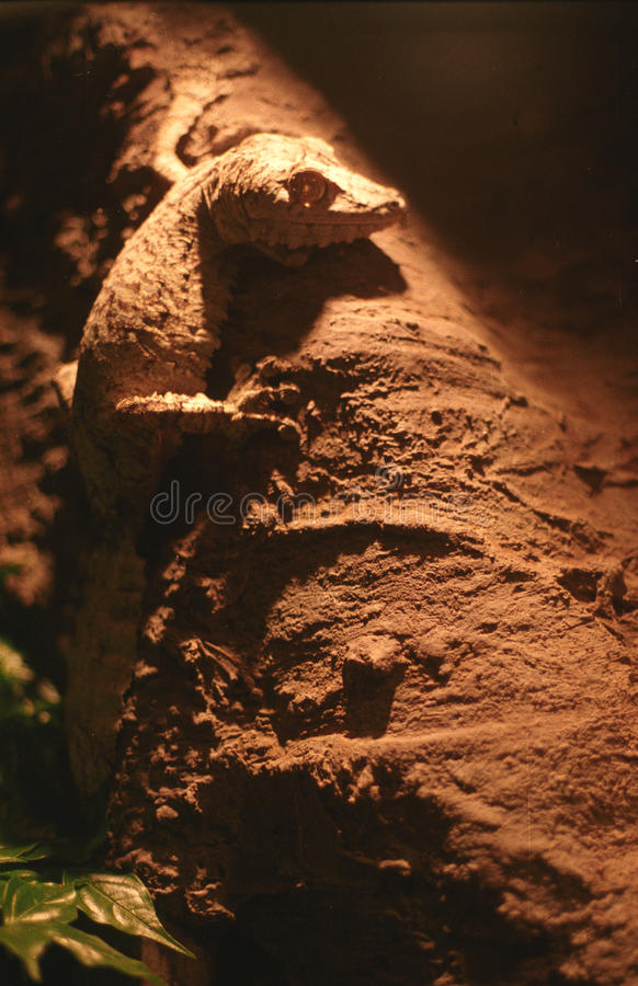 Download Gecko stock photo. Image of lizard, blooded, feet, dragon - 26488612