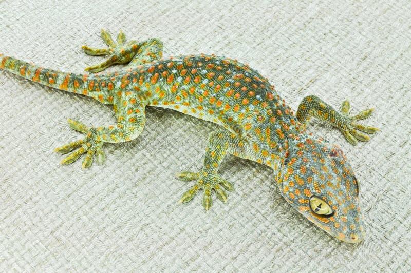 gecko lizenzfreies stockbild