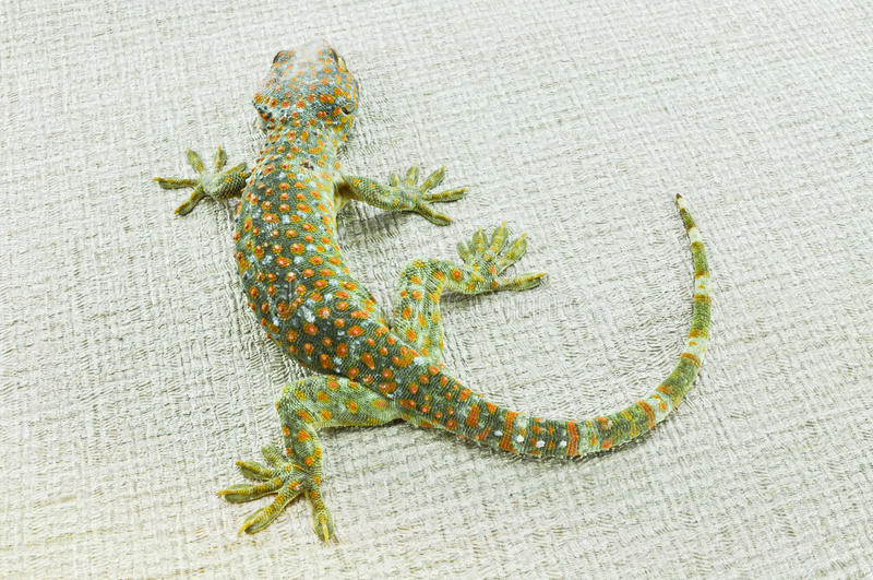 gecko stockfoto