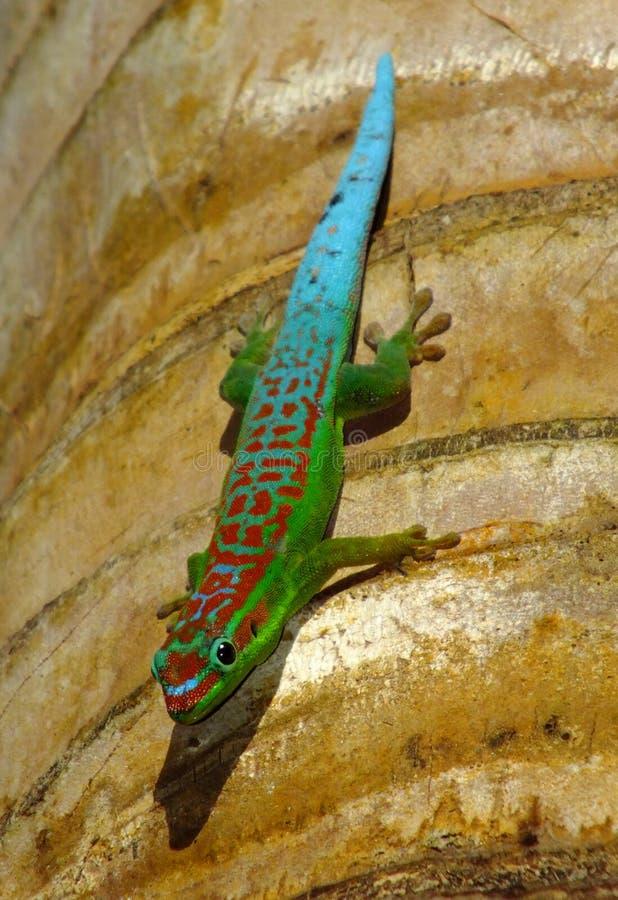 gecko στοκ εικόνα με δικαίωμα ελεύθερης χρήσης