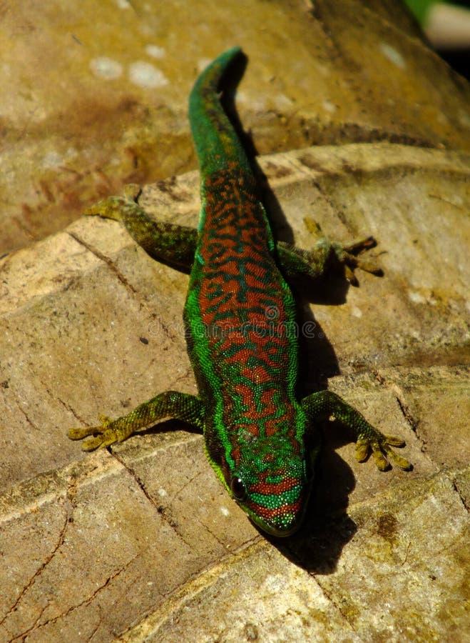 gecko στοκ φωτογραφία με δικαίωμα ελεύθερης χρήσης