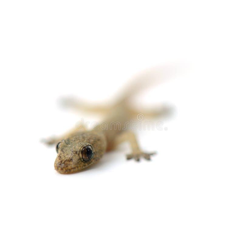 gecko fotografia stock libera da diritti