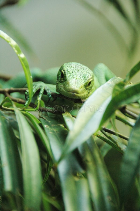 Gecko. A gecko lizard in the wild stock images