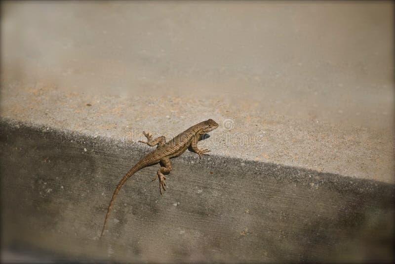 gecko immagini stock