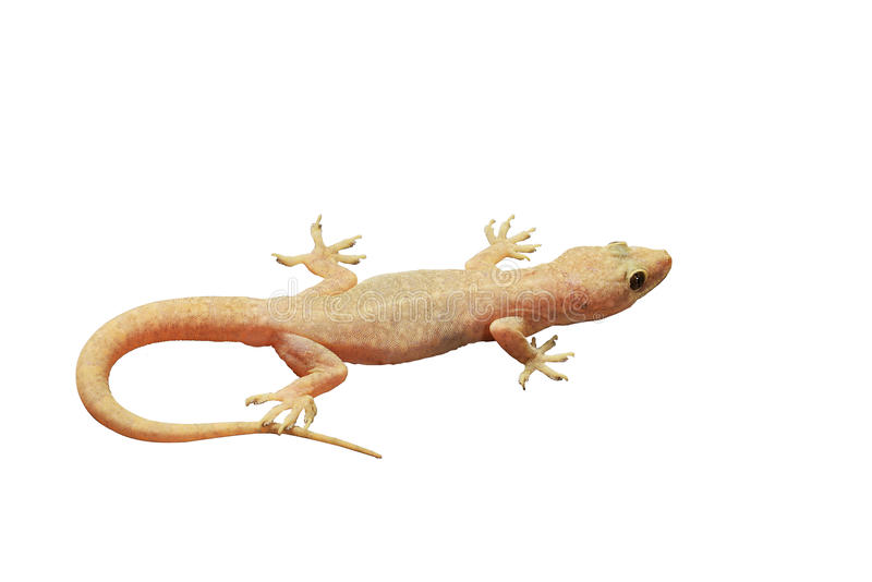gecko lizenzfreie stockfotografie
