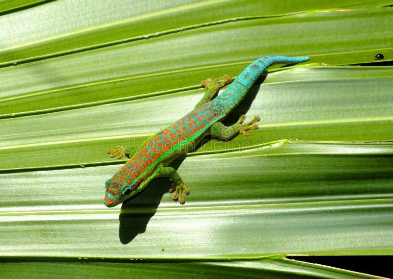 gecko fotografia stock