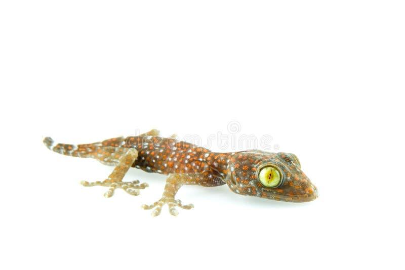 gecko immagine stock libera da diritti