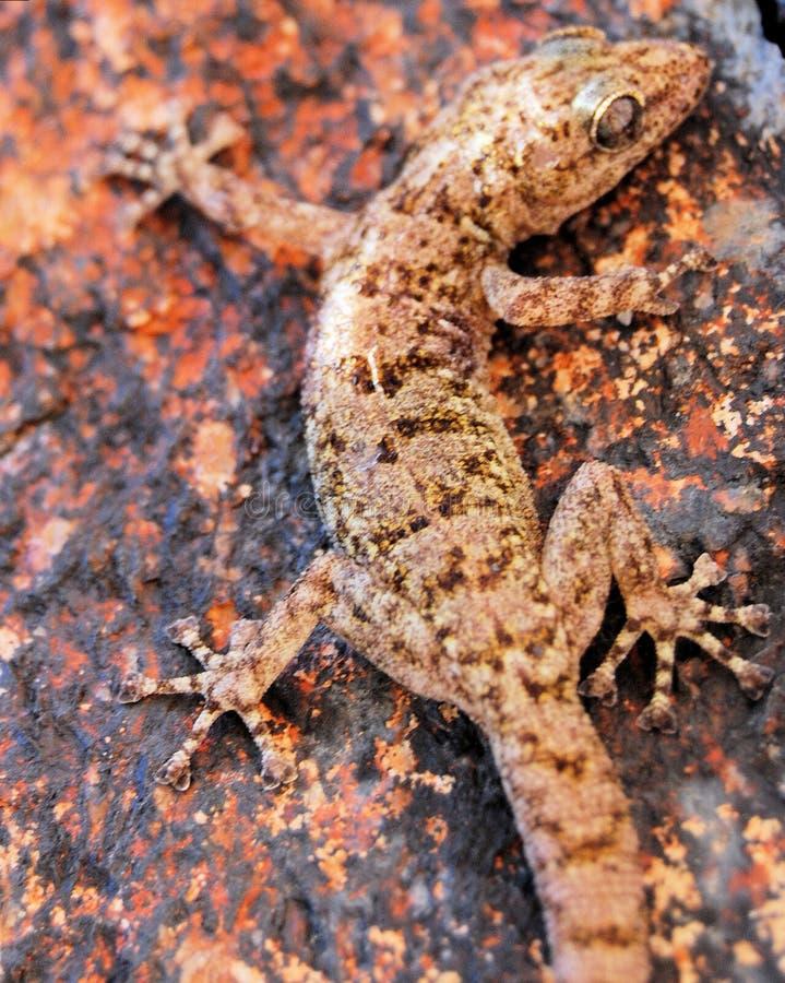 gecko стоковая фотография