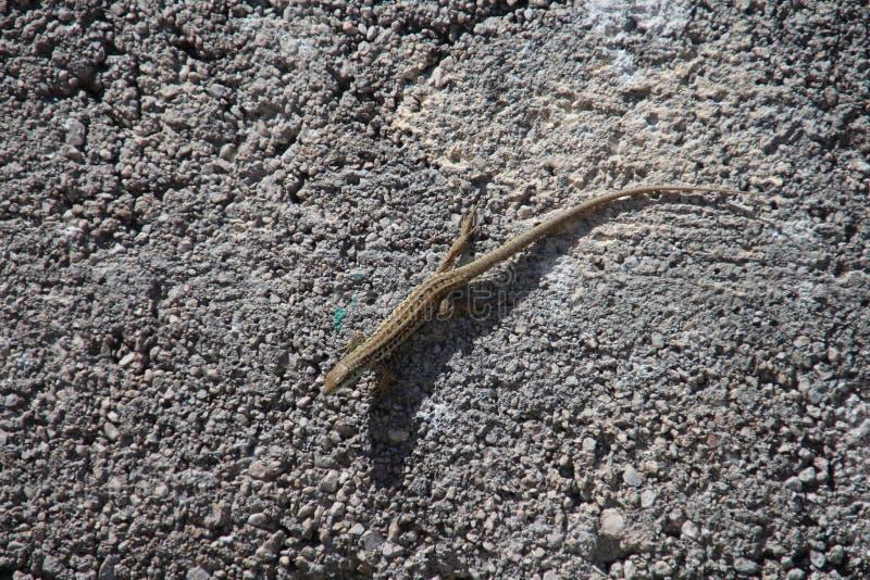 Gecko! lizenzfreie stockfotografie