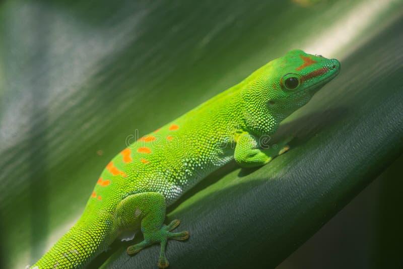 gecko στοκ φωτογραφίες με δικαίωμα ελεύθερης χρήσης