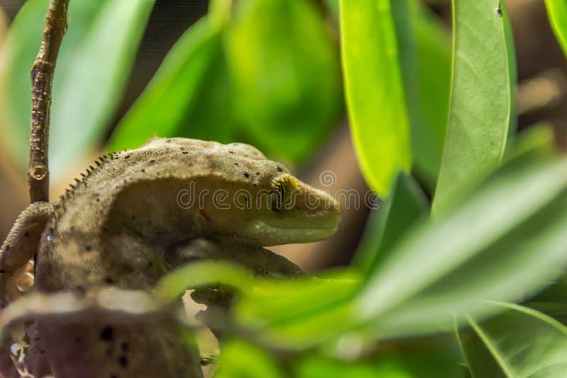 gecko images libres de droits