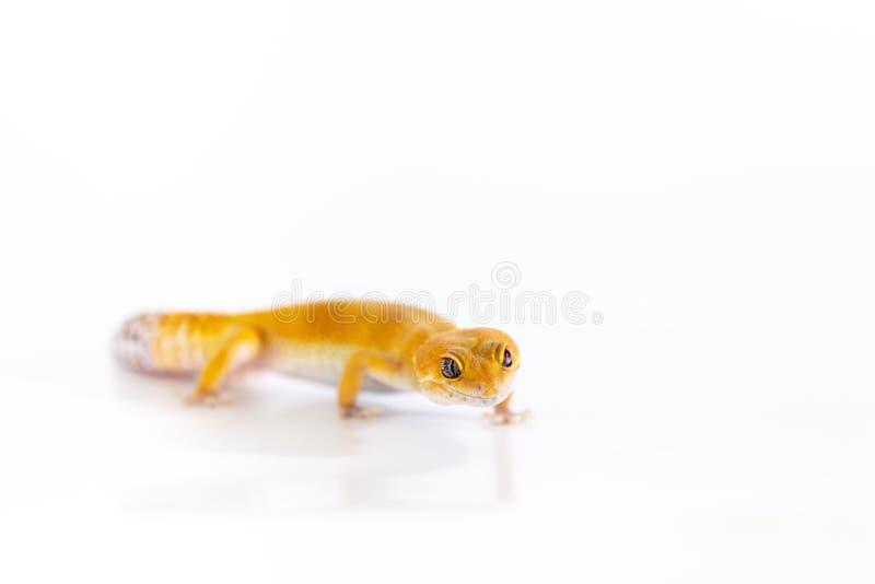 Gecko adorable de léopard d'isolement sur le fond blanc images stock