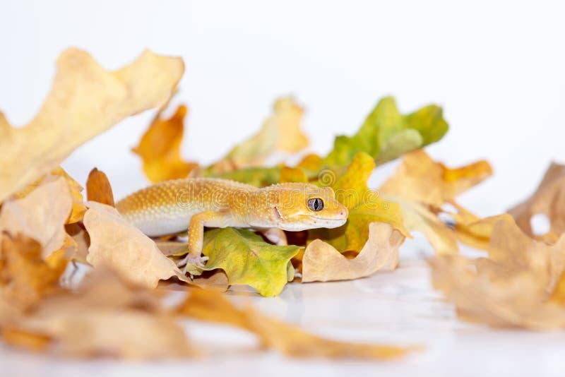 Gecko adorable de léopard sur le fond blanc photos stock