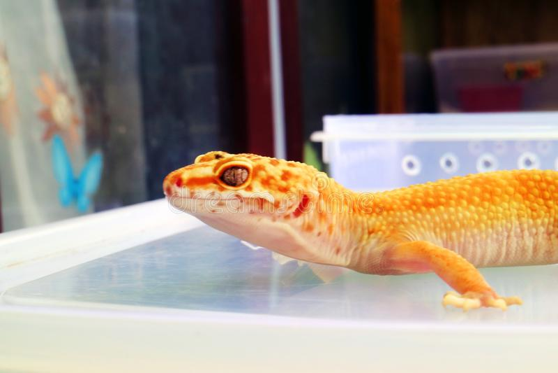 Gecko, African Lizard Yellow Color Closeup stock image