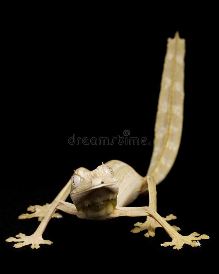 Gecko alineado de la cola de la hoja fotografía de archivo libre de regalías