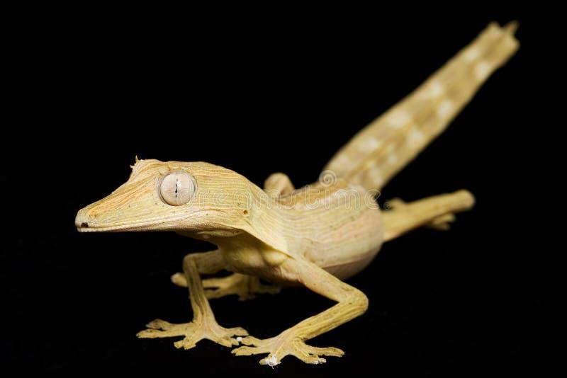 Gecko alineado de la cola de la hoja imagenes de archivo