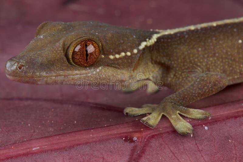 Gecko allineato fotografie stock