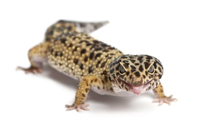 Gecko amarelo elevado do leopardo, Eublepharis imagem de stock royalty free