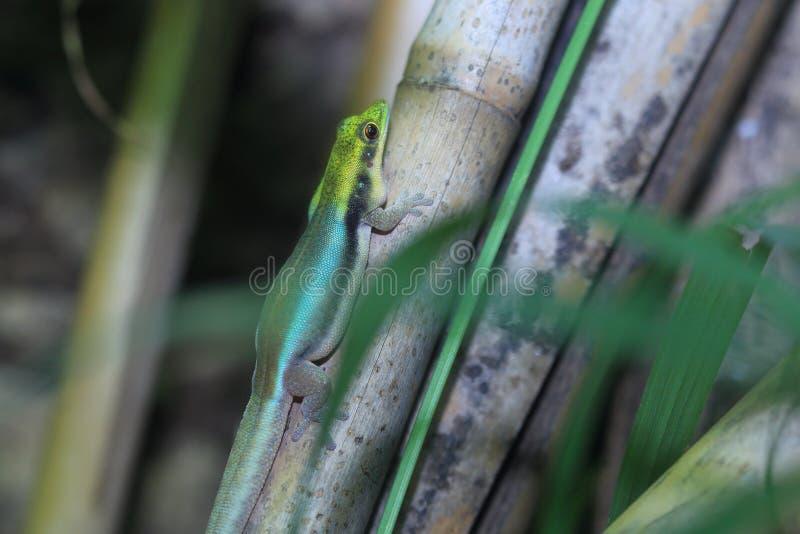 gecko Amarillo-dirigido del día fotos de archivo