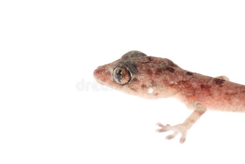 Gecko animal imágenes de archivo libres de regalías