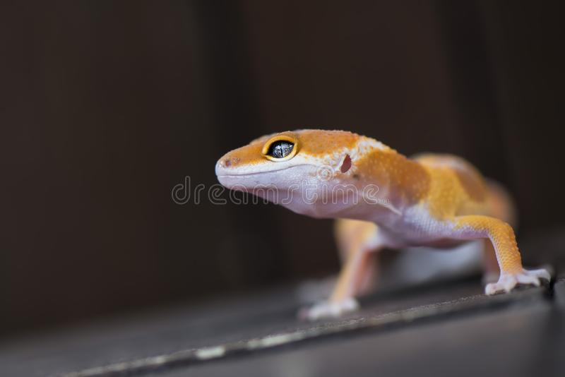 Gecko in the dark. Gecko, animal, orange, indonesia, wild, pet, nopeople, eye, small, color, sunlight, close, angry, little royalty free stock images