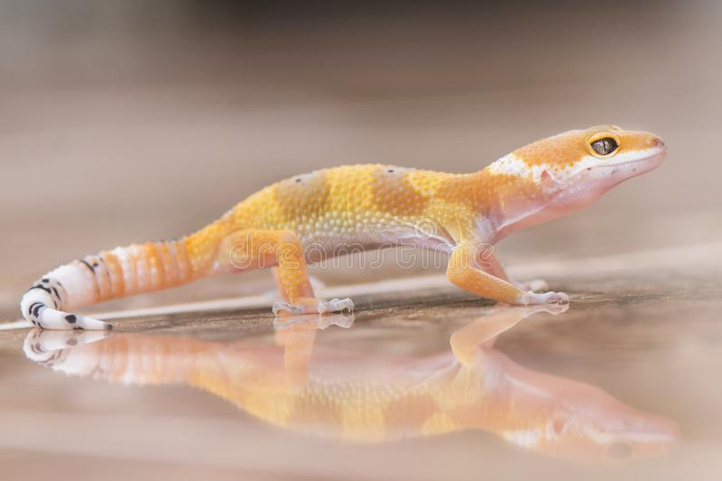 Gecko Reflection. Gecko, animal, orange, indonesia, wild, pet, nopeople, eye, small, color, sunlight, close, angry, little royalty free stock photos
