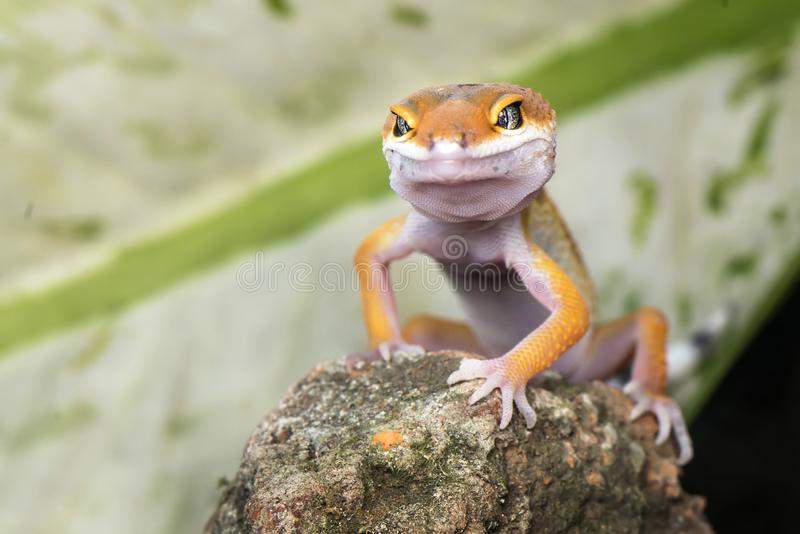 Pose half stand on rock. Gecko, animal, orange, indonesia, wild, pet, nopeople, eye, small, color, sunlight, close, angry, little stock photo