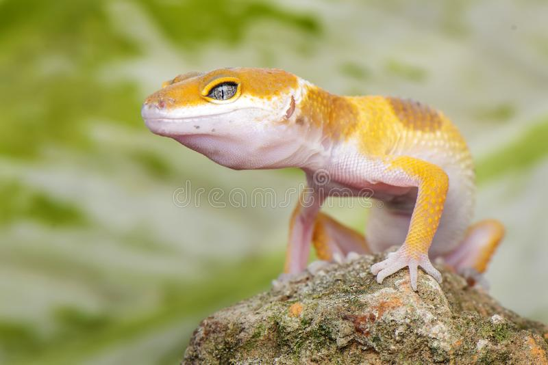 Gecko Stay on rock. Gecko, animal, orange, indonesia, wild, pet, nopeople, eye, small, color, sunlight, close, angry, little, reflection stock photography