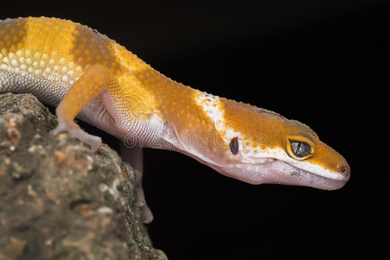 Gecko in the dark. Gecko, animal, orange, indonesia, wild, pet, nopeople, eye, small, color, sunlight, close, angry, little, reflection, walking, floor royalty free stock images
