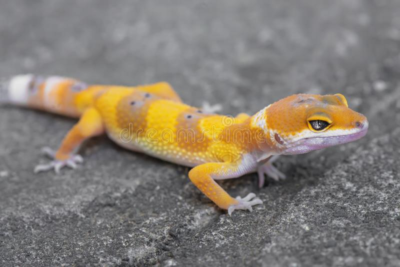Walking in grey stone. Gecko, animal, orange, indonesia, wild, pet, nopeople, eye, small, color, sunlight, close, angry, little, reflection, walking, floor stock image