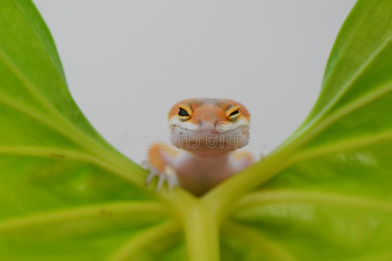 Ok gecko. Gecko, animal, orange, indonesia, wild, pet, nopeople, eye, small, color, sunlight, close stock photo