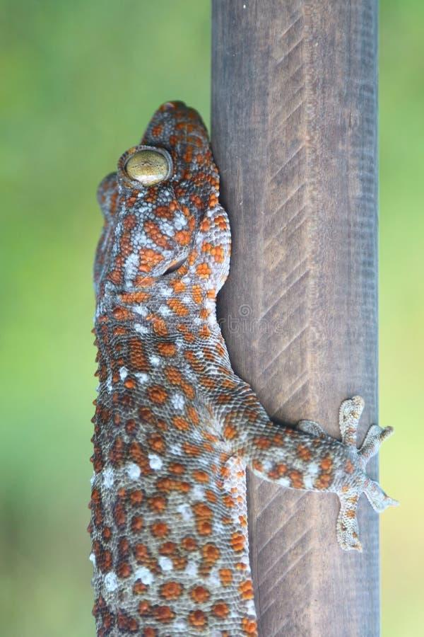 Gecko attrapé avec du bois image libre de droits