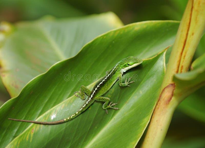 Gecko auf dem Blatt stockfotografie