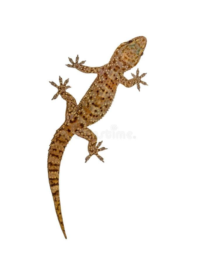Gecko auf weißer Wand stockfotos